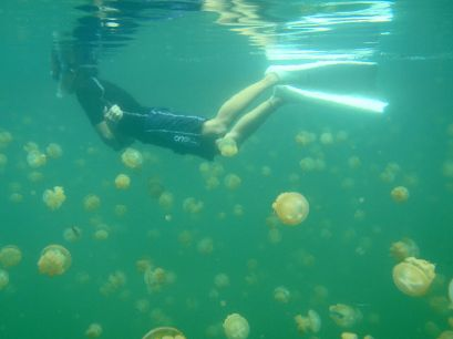 Snorkeler in Jellyfish Lake (via Wikimedia Commons)