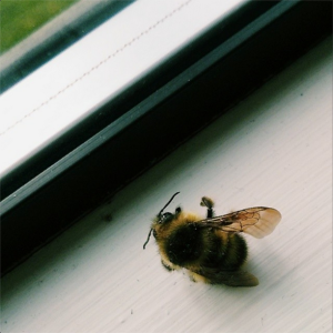 bilbo bumblebee